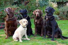 Labradors #labfamily