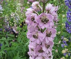 Delphinium - Pacific Giants Astolat - 50 Seeds
