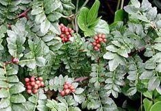 sechuan pepper - Zanthoxylum-piperitum - plant - 29,95€ - eggert