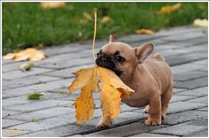 French Bulldog puppies are active and love to play a lot. Here we have listed some cute pictures of French Bulldog puppies, so just share and enjoy. Cute Puppies, Cute Dogs, Dogs And Puppies, Doggies, Bulldog Puppies, Frenchie Puppies, Mini Bulldog, Bulldog French, Funny Bulldog