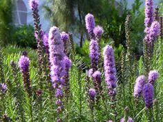 Blazing Star - Liatris tunuifolia Butterfly Food, The Great Outdoors, Stars, Garden, Plants, Therapy, Garten, Lawn And Garden, Sterne