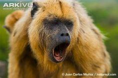 Black howler monkey female howling