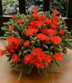 """Unidentified cactus.   (""""Zdjęcie."""")"""