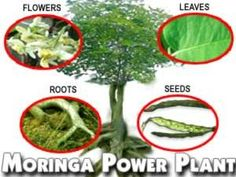 Moringa oleifera tree is considered by many as God's Gift to the World.  Moringa oleifera is the most nutrient-rich plant yet discovered.  In underdeveloped countries, health organizations and clinics distribute Moringa to infants, children and pregnant women.  Moringa is  the best known resource for  fighting hunger and malnutrition.  > Please inquire