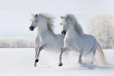 Obraz Koně - Dva bílí koně