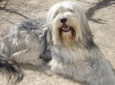 - Bearded Collie, Hd Wallpaper, Wallpapers, Dog Cat, Pets, Painting, Animals, Dado, Portrait