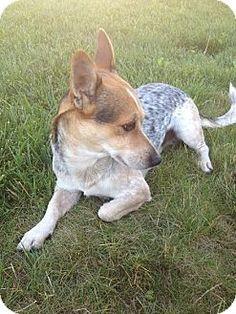 San Francisco, CA - Corgi/Cattle Dog Mix. Meet Wayne, a dog for adoption. http://www.adoptapet.com/pet/11694440-san-francisco-california-corgi-mix