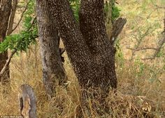 Wonders of nature, can you see the leopard??