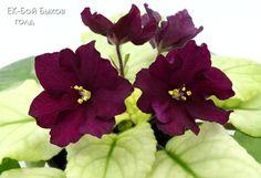 ☘ EK-BOY BYKOV GOLD ☘ BULLFIGHT ☘ African Violet Plant ☘ Plug Russian   Garden & Patio, Plants, Seeds & Bulbs, Plants & Seedlings   eBay!