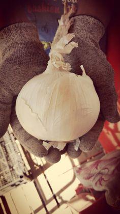 Big onion.