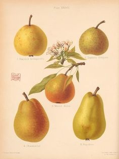 2 - The Herefordshire pomona, containing coloured figures and descriptions of the most esteemed kinds of apples and pears. Pear Drawing, Garden Of Earthly Delights, Herefordshire, Kitchen Prints, Botanical Prints, Decoupage, Art Prints, Fruit, Pears