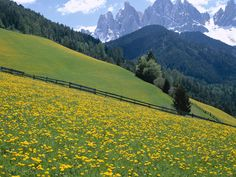 Wildflowers, Dolomite Mountains, Italy