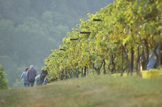 Vineyards and wineries in Hohenwald, Tennessee