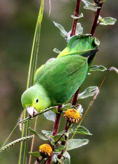 Parrotlet <3