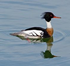 Red-breasted merganser (Mergus serrator). Its breeding habitat is freshwater lakes and rivers across northern North America, Greenland, Europe, and Asia.