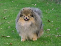 Image detail for -pomeranian dog Dog Pomeranian Breed Development