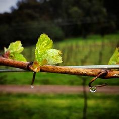 Ringer Reef Chardonnay on it's way in spring time bliss.