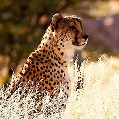 Reise nach Namibia - Genießen Sie 25 € bei Airbnb kostenlos, Link im Profil Namibia, Panther, Link, Animals, Profile, Travel, Animais, Animales, Animaux