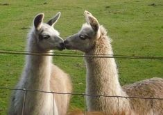llamas | KISSING LLAMAS XD by Kay-linn on deviantART