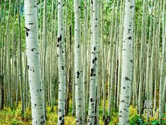 birch trees                                                                                                                                                     More