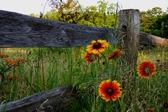 Flowers along country fence posts...