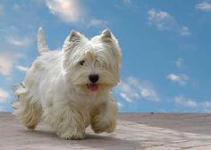 Le Westie, un chien so British - Webzine Animaux de compagnie http://www.animalcompagnie.com/le-westie.html