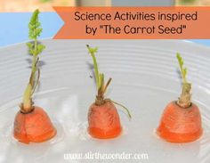 Science Activities inspired by The Carrot Seed - Stir The Wonder Spring Activities, Science Activities, Science Projects, Science Experiments, Seed Activities For Preschool, Seeds Preschool, Plant Science, Science Fair, Science For Kids