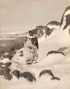 Frozen Adelie Penguin - Photo by Frank Hurley - 1911-1914