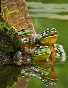 A trio of frogs reflecting in the pond