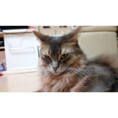 昨日の夜 アリスちゃん、明日朝年一のお注射行くよ? そしたら、途端にこの顔😰笑 久々に車に乗せたので、ずっと鳴きっぱなしでした😅 病院に着いた頃には、肉球は汗でビショビショ(笑) そして体重3.2キロ→3.7キロ😱 人間で言うと8キロ増らしいです😱💦 ムラ食いが仇となりました💧もうちょっと気をつけないと😰 お注射は一回で済みました😁お利口さんでした😆💕 #ねこ#猫#ネコ#ねこ部#ねこすたぐらむ #愛猫#ねこ好き #そまり#ソマリ#ソマリ猫 #ソマリブルー #ソマリブルーの女の子#みんねこ#ふわもこ部 #cat#cats#cute#catstagram#catlovers #instagramcat#nekostagram#ilovemycats#pet#petstagram#somari#somaricat#somariblue#somarilovers #picneko#alice