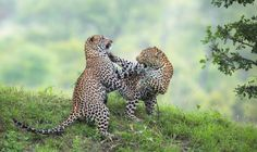 Dancing Leopards by Marlon du Toit, via 500px