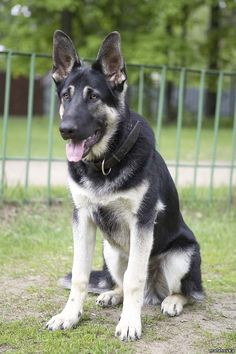 Eastern European shepherd. Basically a German shepherd but much larger. This is a puppy.