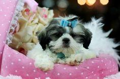 Teacup Shih Tzu puppy  Teacuppuppiesstore.com 954-353-7864