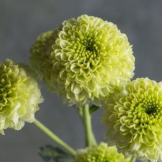 'Feeling Green' Pompons forms, such as bright lime 'Feeling Green' grow heaps of blooms that seem to mesh well in almost any bouquet.