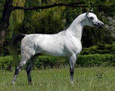 Pegasus (PL) Bred by Janów Podlaski, Poland. 2003 Grey stallion. Gazal El Shaqab {Anaza el Farid x Kajora by Kaborr} x Pepesza {Eukaliptus x Pestka by Probat}