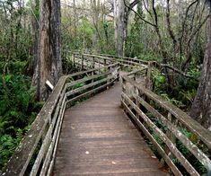 Corkscrew Swamp Sanctuary, Naples, Florida: A 2.25-mile raised boardwalk takes visitors through several distinct habitats found within the 11,000-acre Corkscrew Swamp Sanctuary, including the largest remaining virgin bald cypress forest in North America.    *There is tons of wildlife here to see so enjoy!