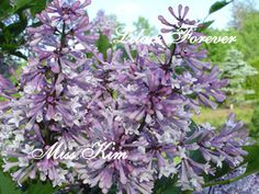 Korean Miss Kim lilacs, semi dwarf lilac bush - grows to a max of 7 feet tall and doesn't get leggy. Grows in full sun to partial shade. Likes moist soil but not wet. Late summer, early fall bloomer, very fragrant.