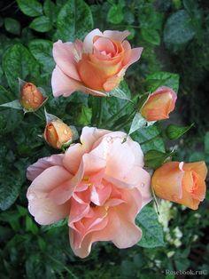 ~Floribunda rose ;Together Forever', Dickson, 2007