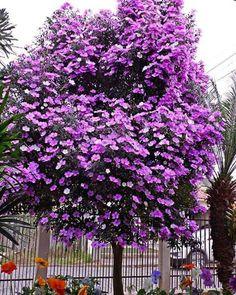 As cores da natureza enfeitando o jardim de casa.  Floração do Manacá da Serra #natureza #paz  Foto @fillipesgomes