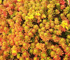 Here is a wonderful succulent ground cover that   gets covered with yellow flowers in the Spring.   Photo by Doug Kalal