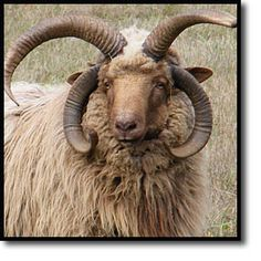 Navajo-Churro sheep- a heritage breed arrived in America over 400 years ago from the Iberian Peninsula.