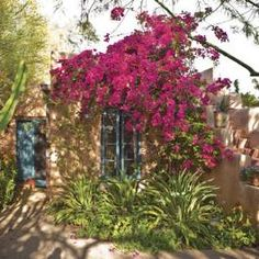 A sprawling bougainvillea drapes over an adobe guest house and outdoor stairway in the north-facing yard. Below blue-painted shutters are variegated Agave desmetiana and pink-flowering cranesbill geranium.