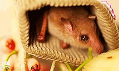 This little bat. | The 24 Most Important Australian Animal Gifs Of All Time