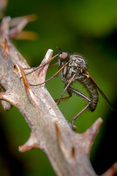Robber Fly by T_J_P