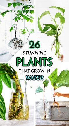 Plants Grown In Water, Water Plants Indoor, Indoor Garden, Growing Flowers, Growing Plants, Planting Flowers, Inside Plants, Cool Plants, Chinese Evergreen Plant