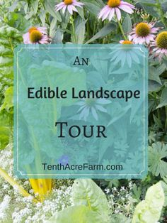 Take a tour of our edible landscape, where we mixed edibles into the landscape for a softer, gentler approach to edible gardening that can be approved of by neighbors.