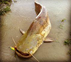 Catturare pesce gatto online dating Predator