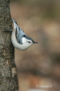 White-breasted Nuthatch.  Love the way they climb up tree trunks
