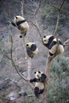Panda family.