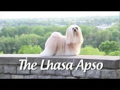 """Lhasa Apsos are adorable, sweet and popular, the perfect """"Supermodel dog."""" Learn about their personality, history, grooming and health issues."""